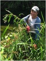 volunteer pulling large himalayan balsam