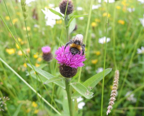 Bumblebee with pollen
